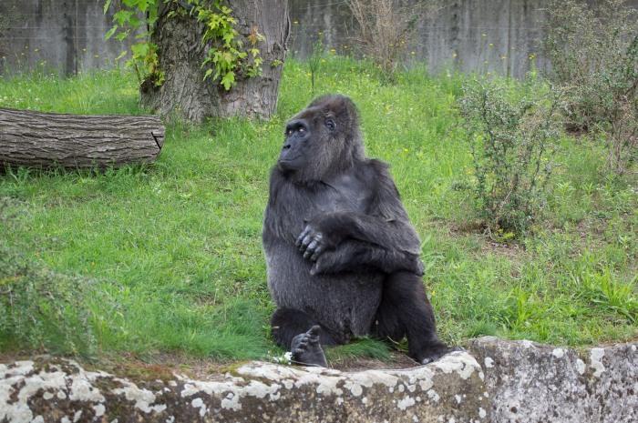 Gorila Emburrada