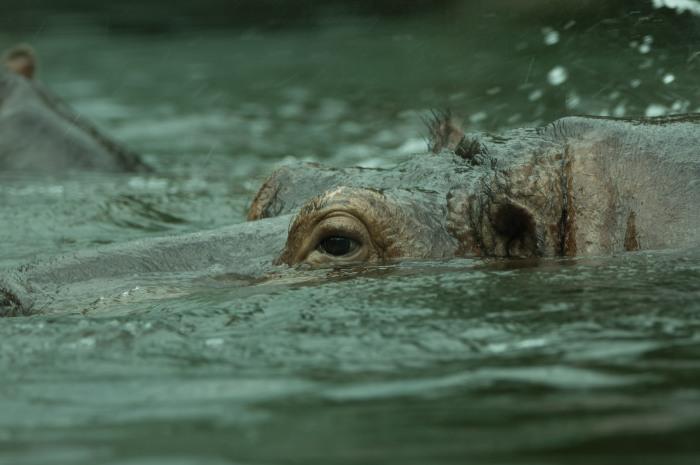 Olho de Hippo