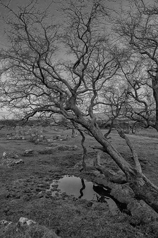 Dartmoor Tree